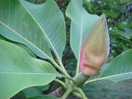 Cortex Magnolia Officinalis